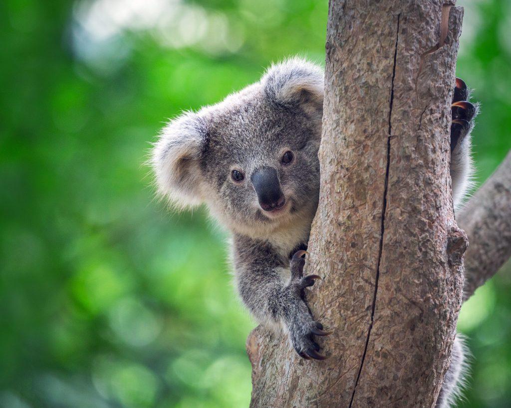 Koalas rely on eucalyptos trees for survival.